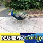9_Peacock191204w500x500.jpg