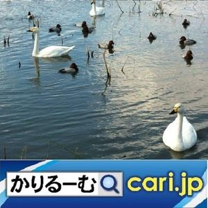 25_Swan200706w500x500.jpg