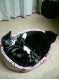 猫 クロとスズ 黒猫とアメリカンショートヘアー風 101220_205437.JPG