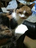 老猫ミミ 三毛猫 メス 110314_203958.JPG