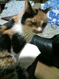 老猫ミミ 三毛猫 メス 110314_204016.JPG