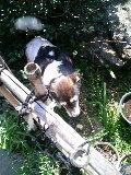 白黒犬 モモ 庭 110329_134226.JPG