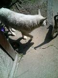 白犬サクラ 猫ハナ 110329_134316.JPG