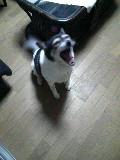 白黒犬 モモ メス 応接室 110423_212105.JPG