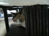 三毛猫 ミミ メス 応接室 110423_212130.JPG