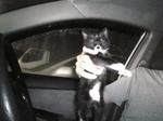 黒白子猫 サブ 車の中 持ち上げている Image100.jpg