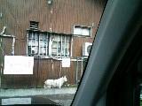 白犬 さくら 110623_090737.JPG