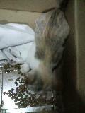 子猫 ゆり キャットフードを食べている 110829_193027.JPG