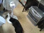 猫 クロ ゆり ストーブ 扇風機 110910_103221.JPG